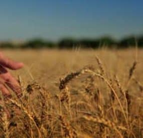 The Problem with American Wheat