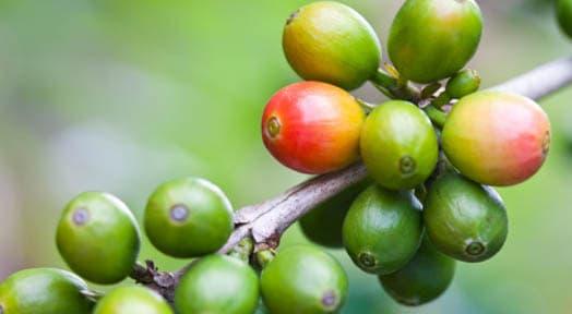 Coffee Berry  Anti Oxidant